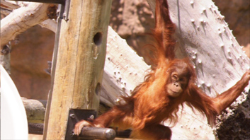 Bernell 3-D Blu-Ray Orangutan