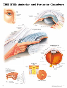 Laminated Chart - The Eye: Anterior and Posterior Chambers