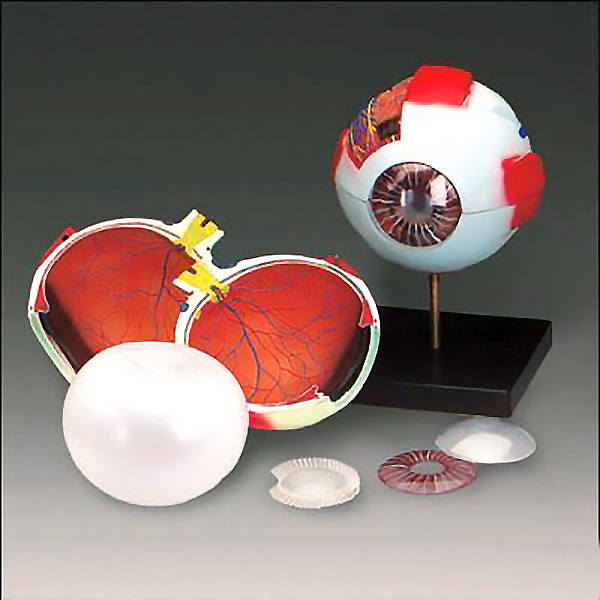 Economy Anatomical Eye Model